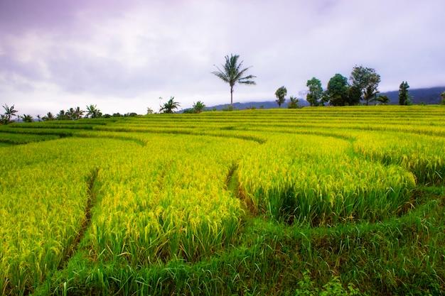 Рисовые террасы в индонезии с естественными и красивыми цветами