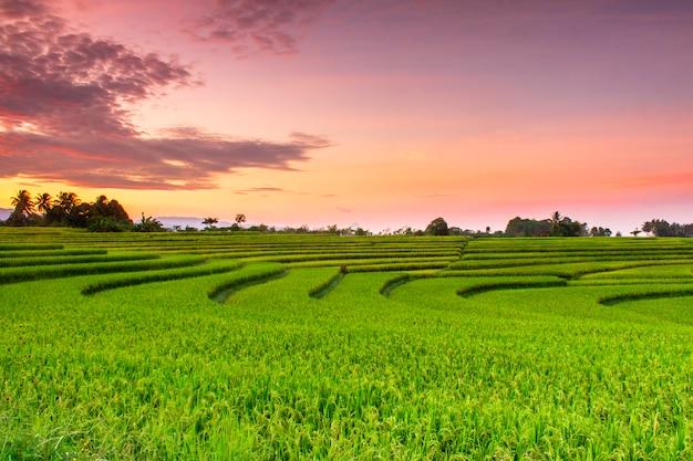 Красивые рисовые поля на рассвете в северной бенгкулу, индонезия
