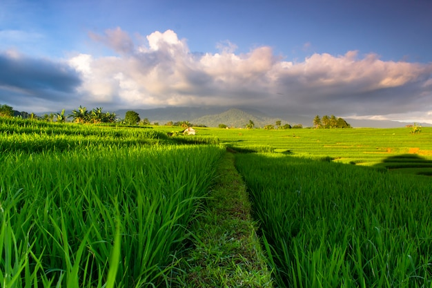 Зеленый пейзаж индонезийских рисовых полей