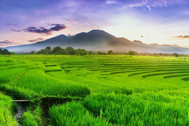 Утренний вид на зеленые рисовые поля