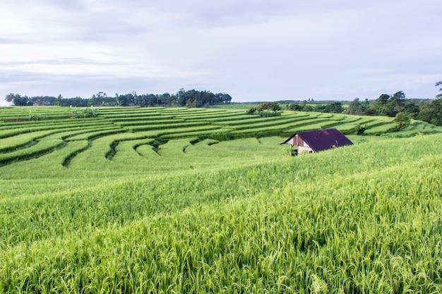 Красота утра на террасе прекрасного рисового поля с зеленым рисом и самим домом
