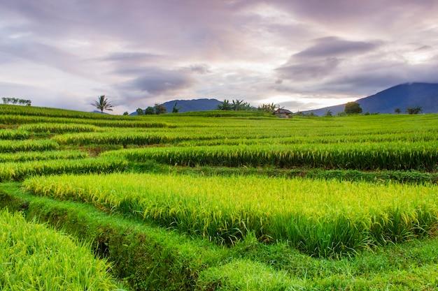 Красота утра на террасе красивых рисовых полей с зеленым рисом по утрам
