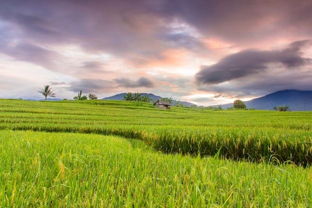Красота утра на террасе прекрасного рисового поля с пожелтевшим рисом и горящим небом