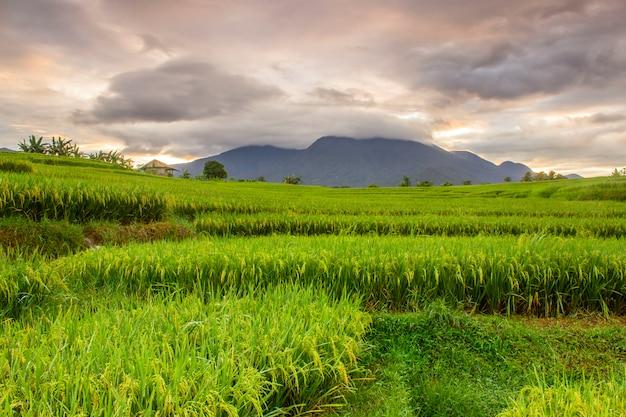 Прекрасная панорама утра на террасе прекрасного рисового поля с пожелтевшим рисом и горящим небом