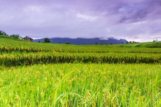 Рисовые поля утром с красивыми и прохладными цветами