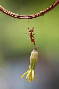 Красный муравей несут цветок на ветке