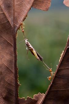 Группа муравьев, несущих мертвого кузнечика для еды