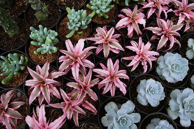 多肉サボテンの植物のクローズアップ、多肉植物の繁殖、植物の成長