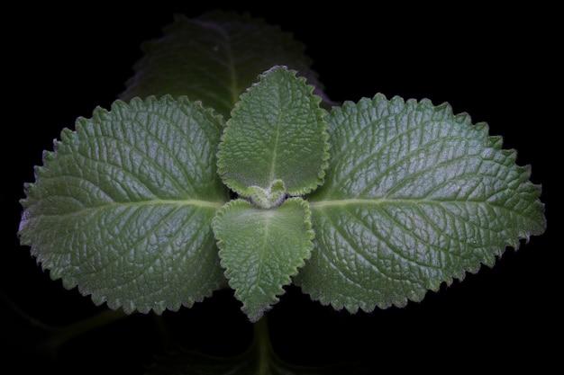 新鮮な生ミントの葉が黒の背景に分離