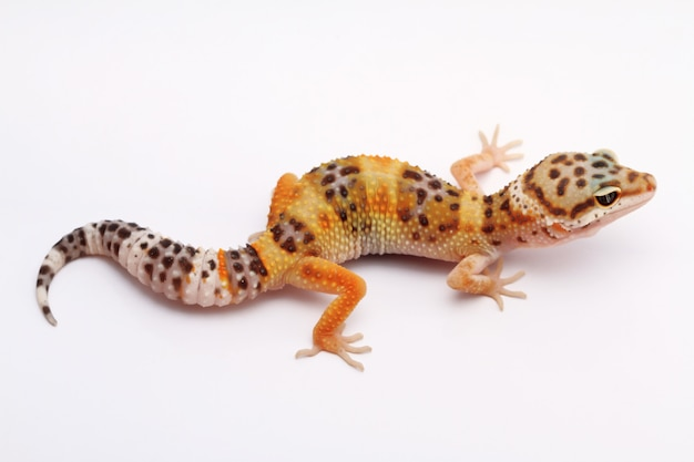 Леопард геккон на белом фоне