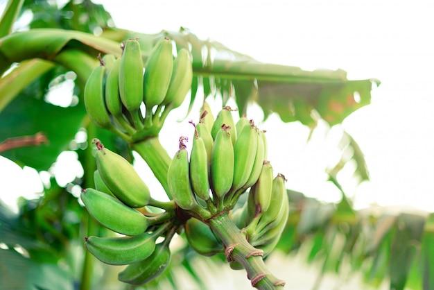 Зеленые спелые бананы на пальме. лето и путешествия концепция.