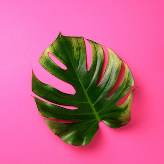 Тропический лист монстера на розовом фоне. летняя концепция