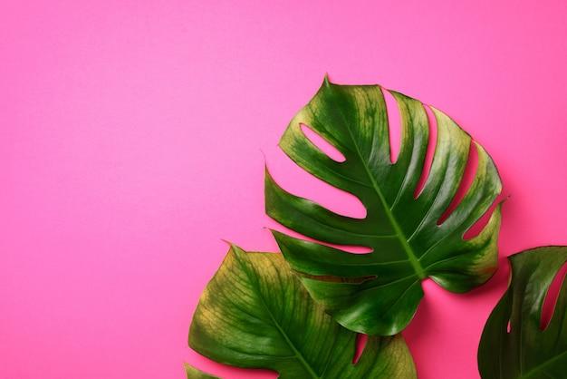熱帯のモンステラはピンクの背景に残します。
