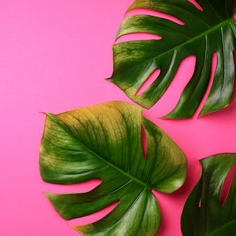 熱帯のモンステラはピンクの背景に残します。クリエイティブなレイアウト