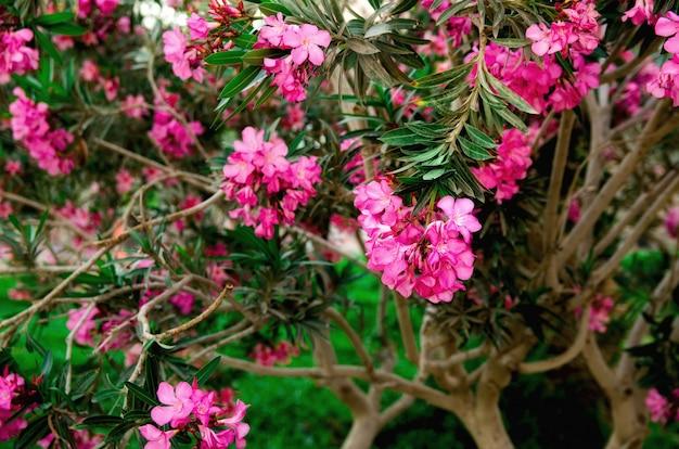 庭に咲くピンクのオレアンダーの花またはネリウム。