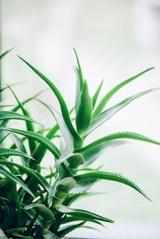 緑のアロエベラの植物。熱帯アロエ。漢方薬と自然農園