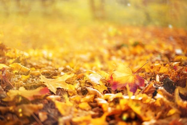 オレンジ、黄色のカエデの葉の背景。黄金の秋のコンセプト。
