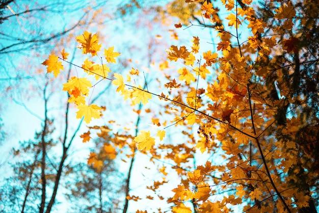 コピースペースと黄金の秋コンセプト。晴れた日、暖かい天気。