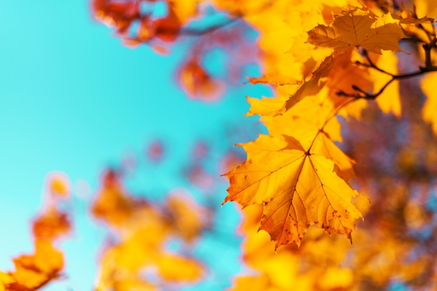 Осенние желтые листья на фоне голубого неба. концепция золотая осень.