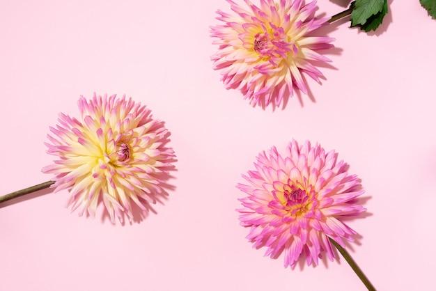 ピンクの背景にダリアの花
