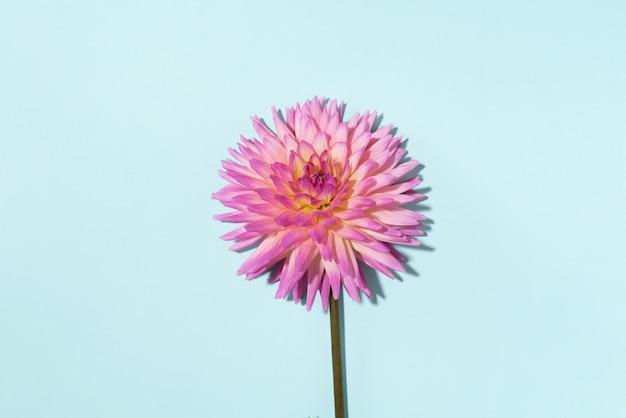 青色の背景にダリアの花