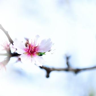 開花アーモンドの木。咲くアーモンドの花。花春の日。コピースペース