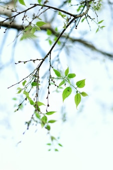 緑の若葉。晴れた日と春の自然の背景。イースターのコンセプトです。スペースをコピーします。