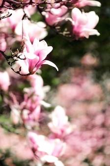 Зацветая солнце дерева магнолии весной излучает. выборочный фокус. копировать пространство