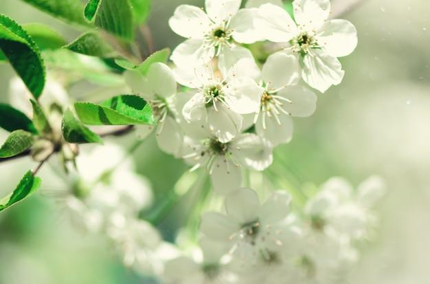 Дерево цветения, предпосылка природы весны. солнечный день. пасха и цветущая концепция.