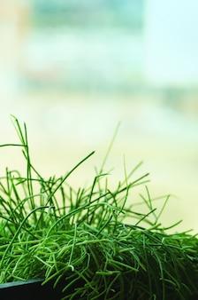 窓の近くの新鮮な春の緑の芝生。晴れた朝。ミニマリストのライフスタイル、健康の概念。スペースをコピーします。レトロなトーン効果
