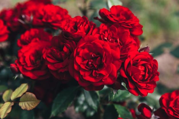 夏には美しい赤いバラの花。緋色のバラの開花と自然の背景。インスピレーションを与える自然の花春咲く庭や公園の背景。美容花ヴィンテージレトロアートデザイン。