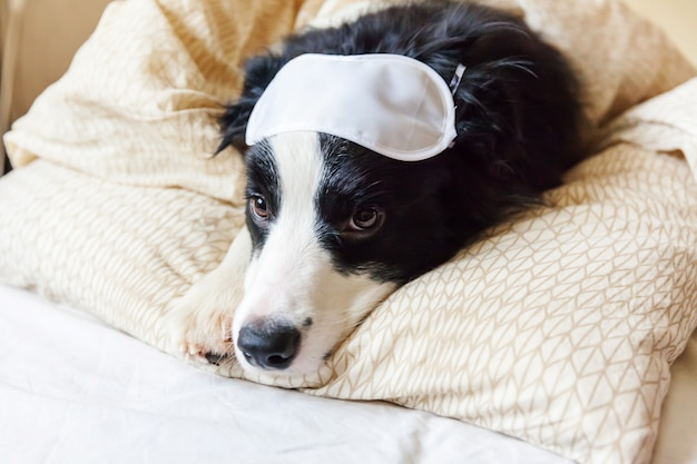 邪魔しないで私を眠らせて。寝ているアイマスクと面白い子犬のボーダーコリーはベッドで枕毛布の上に置く自宅で小さな犬が横になっていると眠っています。休息おやすみ不眠症シエスタリラクゼーションコンセプト