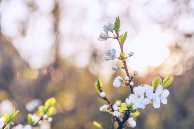 春の美しい白い桜桜の花。インスピレーションを与える自然の花が咲く庭や公園。フラワーアートデザイン。