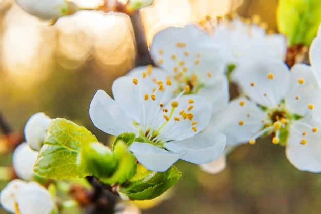 美しい白い桜さくらの花マクロは春にクローズアップ。感動的な花の咲く庭や公園。フラワーアートデザイン。