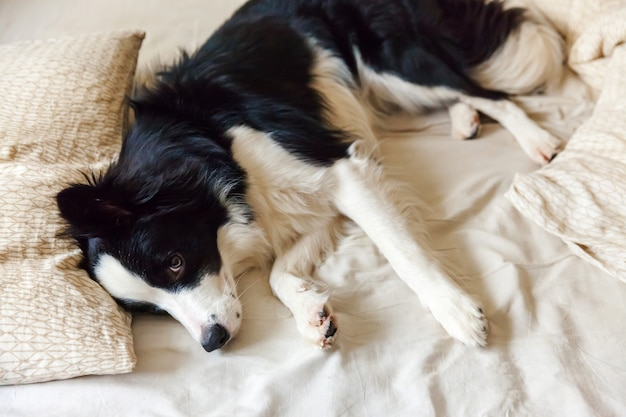 かわいい笑顔の子犬犬ボーダーコリーの肖像画は、ベッドの枕毛布に横たわっていた。邪魔しないで私を眠らせて。自宅で小さな犬が横になっていると寝ています。ペットのケアと面白いペット動物の生活のコンセプト。