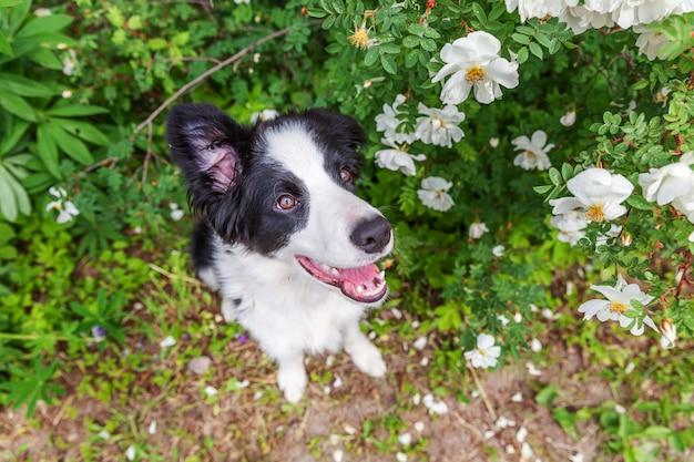 公園や庭の花の上に座ってかわいい笑顔子犬ボーダーコリーの屋外のポートレート。散歩に家族の小さな犬の新しい素敵なメンバー。ペットのケアと面白い動物の生活のコンセプト。