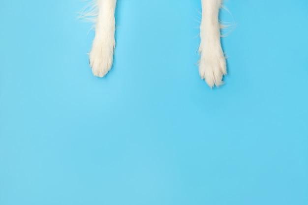 面白い子犬犬ボーダーコリー足をクローズアップで青い表面に分離されました。ペットの世話と動物の概念。犬の足脚オーバーヘッドトップビュー。テキストのフラットレイアウトコピースペース場所。