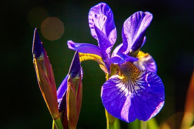 紫色のアイリスが付いている花壇