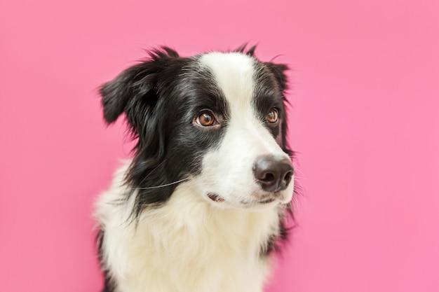 ピンクの背景に分離されたかわいいボーダーコリーの面白いスタジオポートレート