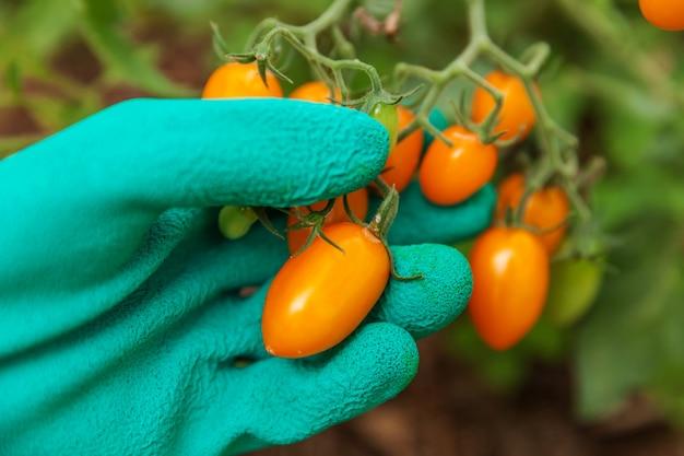 新鮮な熟した有機トマトを選ぶ手袋で農場労働者の手