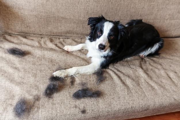 Смешной портрет милой щенки бордер колли с мехом в линьки, лежа на диване. меховая собачка и шерсть в ежегодной весенней или осенней линьке дома в помещении. гигиена домашних животных аллергия груминг концепции.