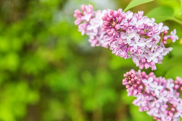 春の美しい香り紫紫ライラックの花。ライラックのセレクティブフォーカスのマクロの小枝を閉じます。インスピレーションを与える自然の花が咲く庭や公園。生態自然景観
