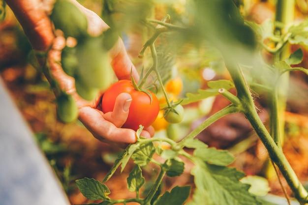 ガーデニングと農業のコンセプトです。新鮮な完熟有機トマトを選ぶバスケットを持つ女性農場労働者の手。温室の生産物。野菜の食糧生産。温室で育つトマト。