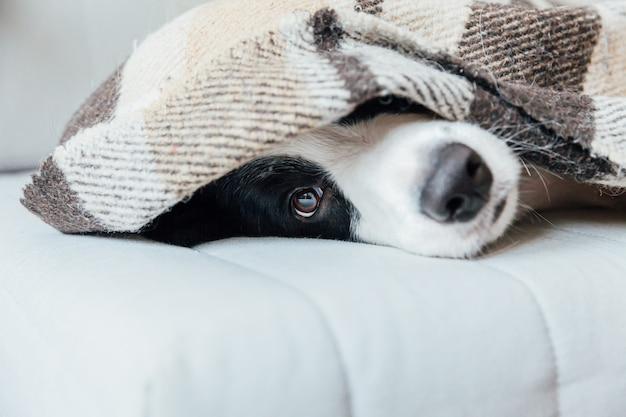 室内の格子縞の下のソファに横になっている面白い子犬犬ボーダーコリー。家族の素敵なメンバーの家で小さな犬は、寒い秋、秋、冬の天候で毛布の下で温暖化。ペット動物の生活のコンセプトです。