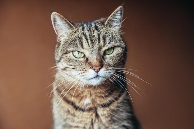 家でくつろぐ面白い肖像傲慢な短い髪の飼い猫