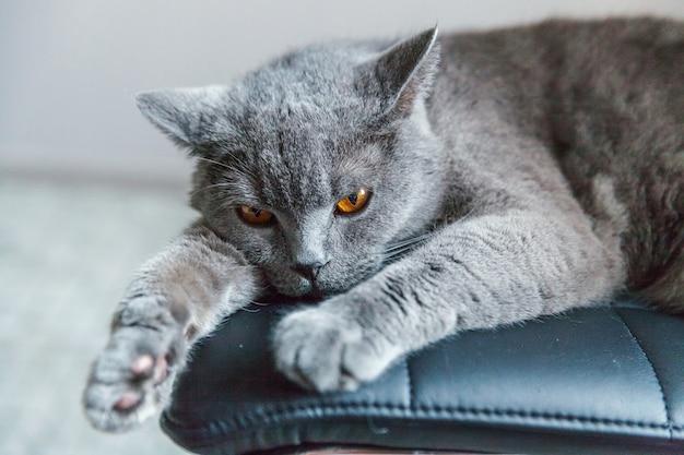 自宅で屋内の黒のモダンな椅子で寝ているイギリスの猫