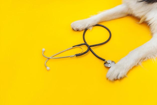 Лапка и стетоскоп коллиы границы собаки щенка изолированные на желтой предпосылке. маленькая собака на приеме у ветеринарного врача в ветеринарной клинике. здоровье животных и концепция животных
