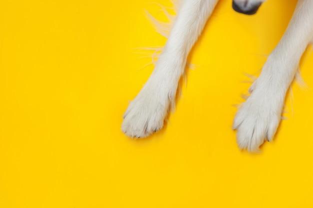 面白い子犬犬ボーダーコリーの足は、黄色の背景に分離されたクローズアップ。ペットの世話と動物のコンセプト。犬の足脚オーバーヘッドトップビュー。テキストのフラットレイアウトコピースペース場所。