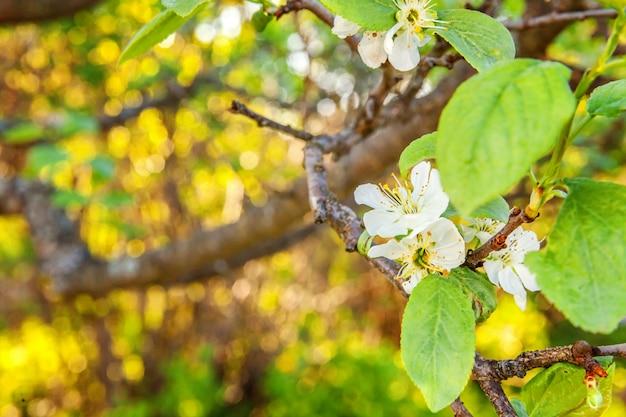 Красивые белые цветы в весенний сад или парк