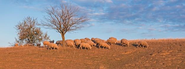 春に草を食べる羊とヤギ